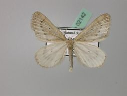 Image of <i>Myinodes constantina</i> Hausmann 1994