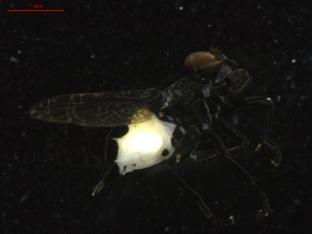 Image of <i>Platystoma seminationis</i> (Fabricius 1775)