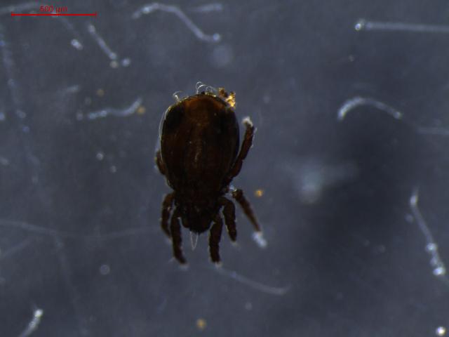 Image of Crotoniidae