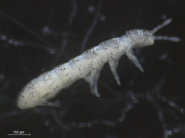 Image of <i>Folsomia quadrioculata</i> (Tullberg 1871)