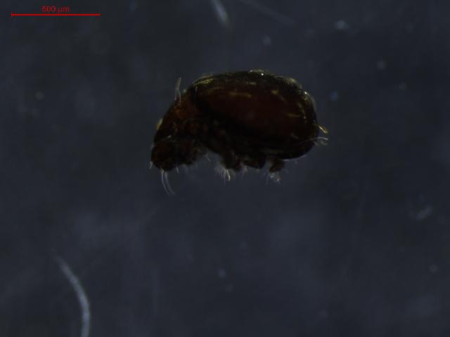 Image of Hermanniidae
