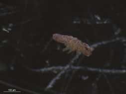 Image of Brachystomella
