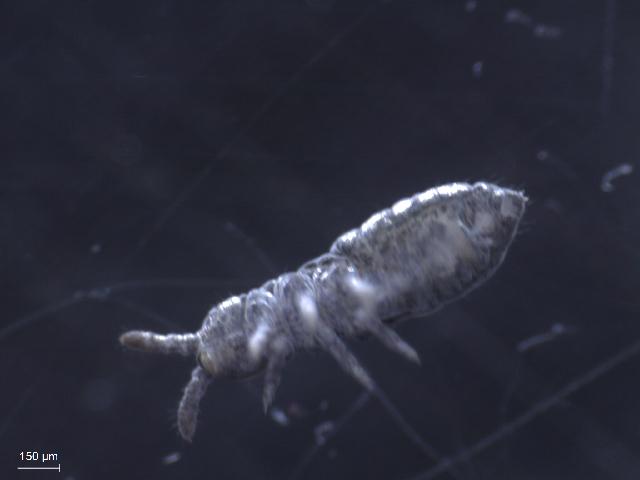 Image of <i><i>Hypogastrura</i></i> (Hypogastrura) <i>subboldorii</i> Delamare Deboutteville & Jacquemart 1962