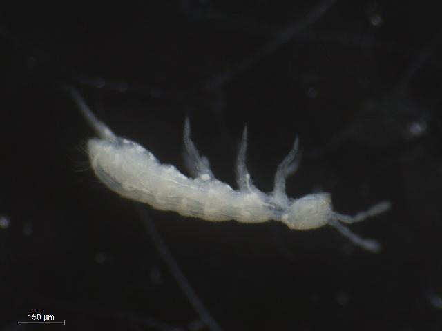 Image of Springtail