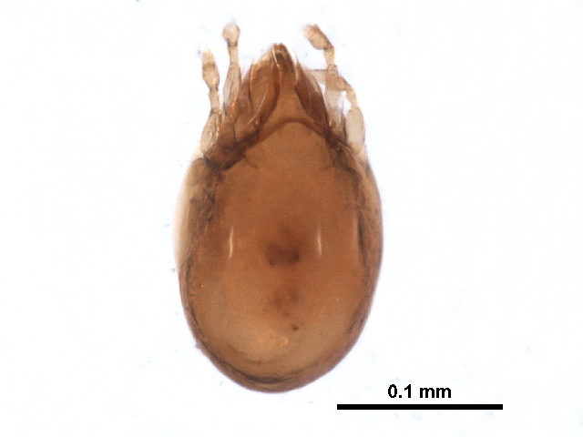 Image of Ceratozetella