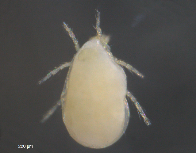 Image of Limnochares Latreille 1796