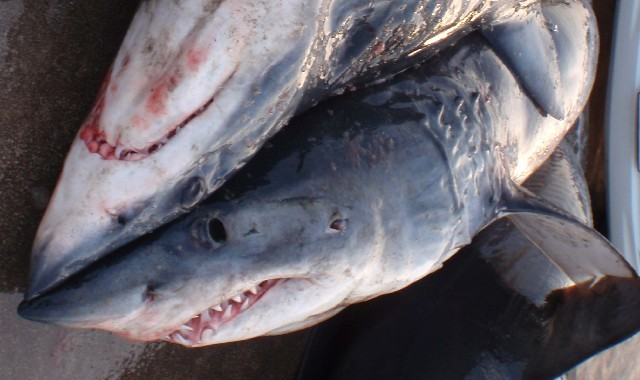 Image of white sharks