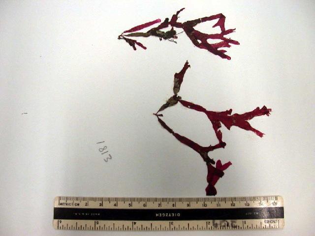 Image of <i>Phyllophora crispa</i>