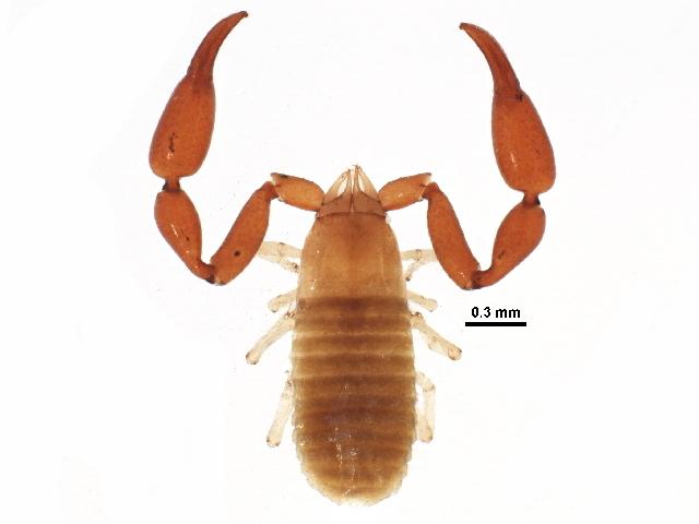 Image of Syarinidae