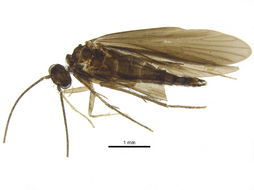 Image of Xiphocentronidae
