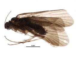 Image of Smicridea