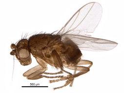 Image of Lepidosina