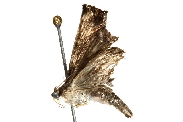 Image of Pilemia Fairmaire 1864