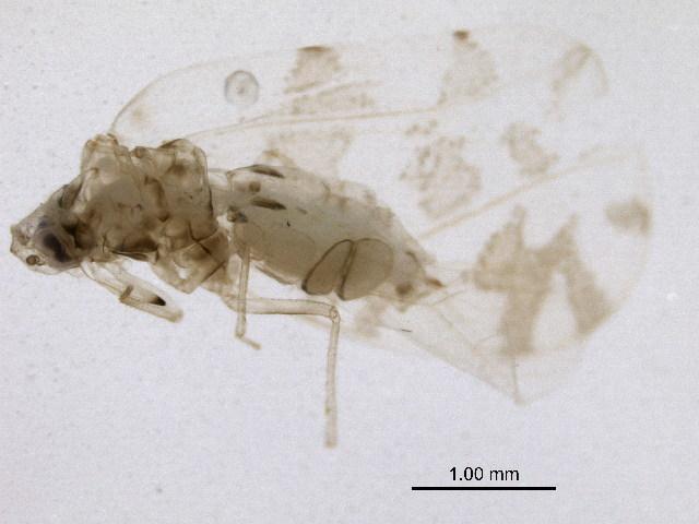 Image of Aleurodicinae