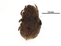 Image of Carabodidae