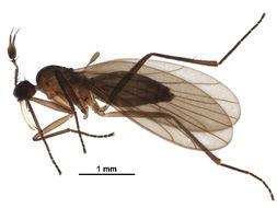 Image of <i>Ceratomerus hibernatus</i>