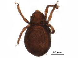 Image of Pedrocortesellidae