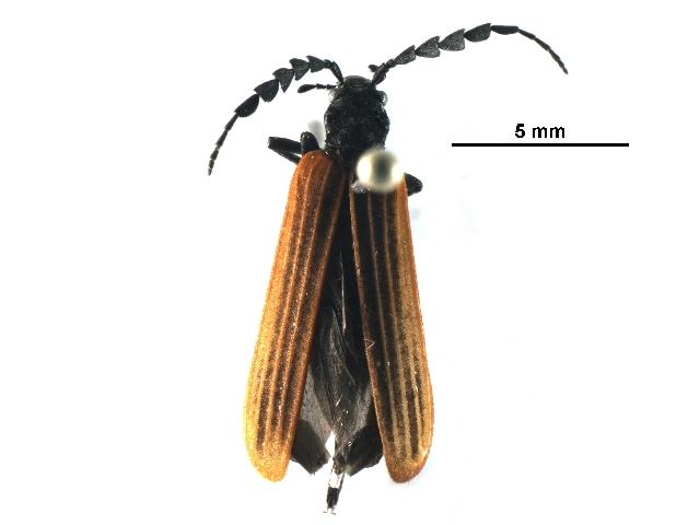 Image of Pseudolycus