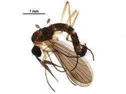 Image of <i>Ceratomerus albistylus</i> Hardy 1930