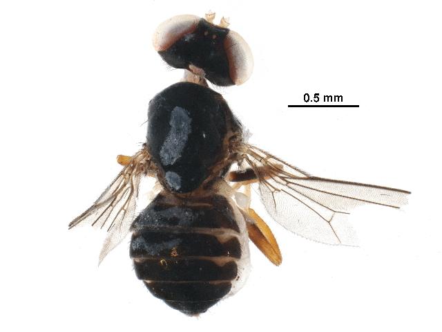 Image of aulacigastrid flies