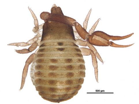 Image of Geogarypidae