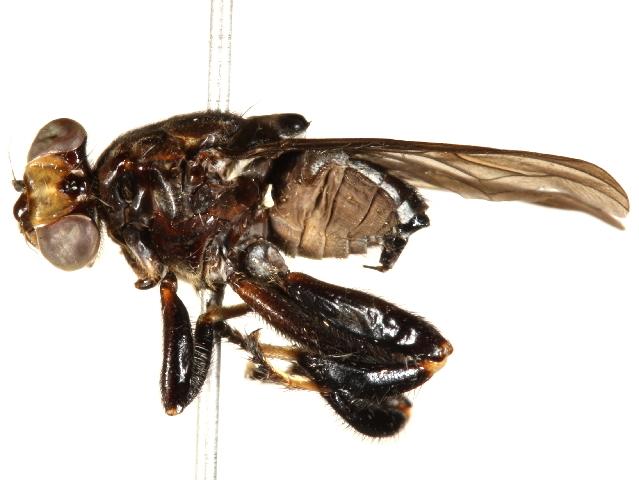 Image of ropalomerid flies
