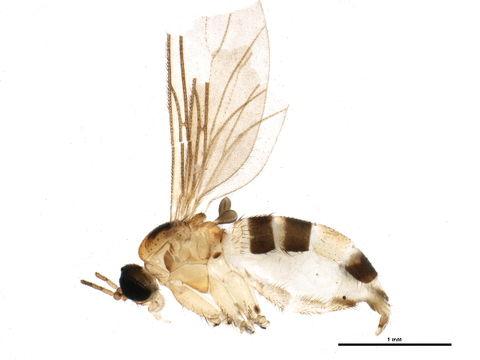 Image of Pseudosciara