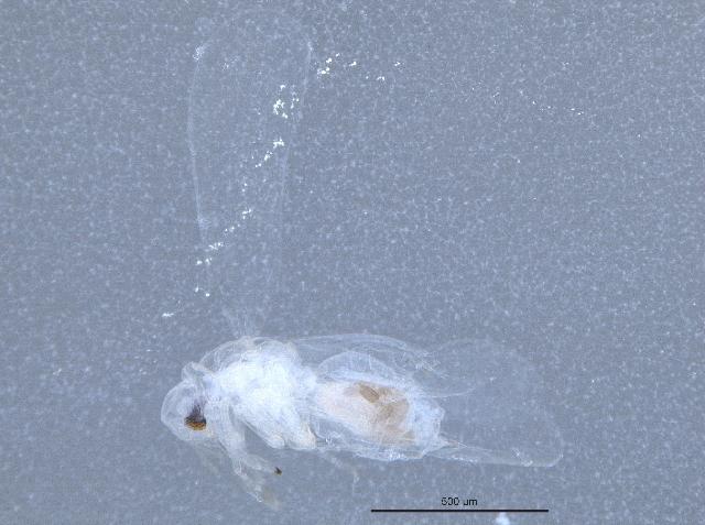 Image of Aleurothrixus