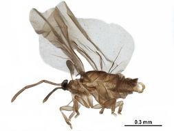 Image of twisted-winged parasites