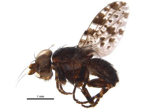 Image of Odinia