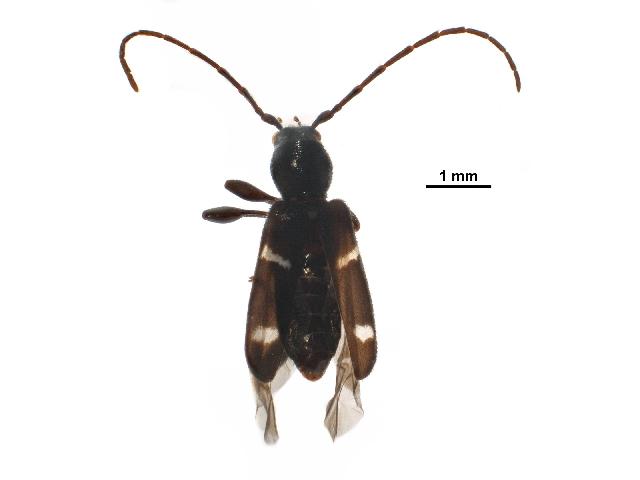 Image of <i>Phymatodes obliquus</i> Casey 1891