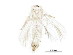 Image of Melanthripidae