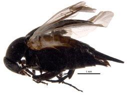 Image of <i>Mordella atrata</i> Melsheimer 1845