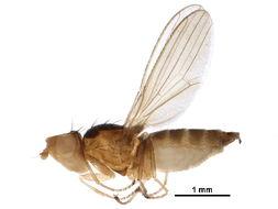 Image of Pelomyiinae