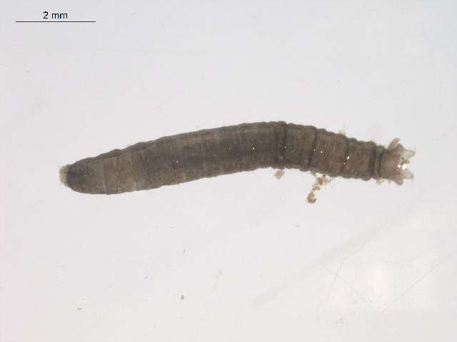 Image of <i>Tipula</i>