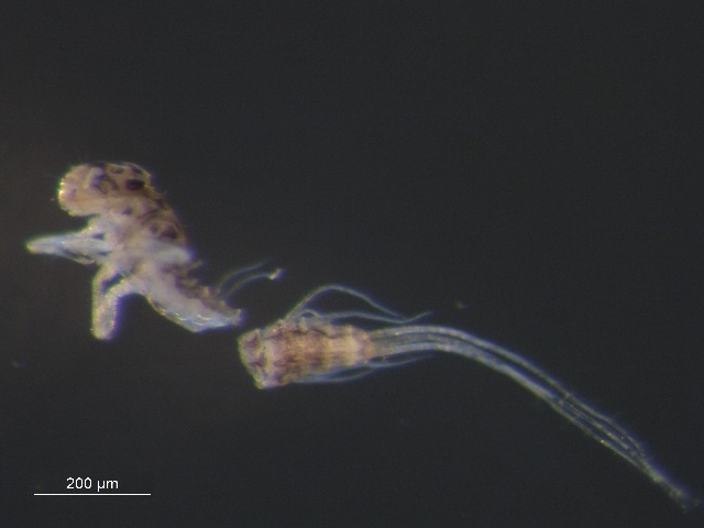 Image of <i>Leptophlebia</i>