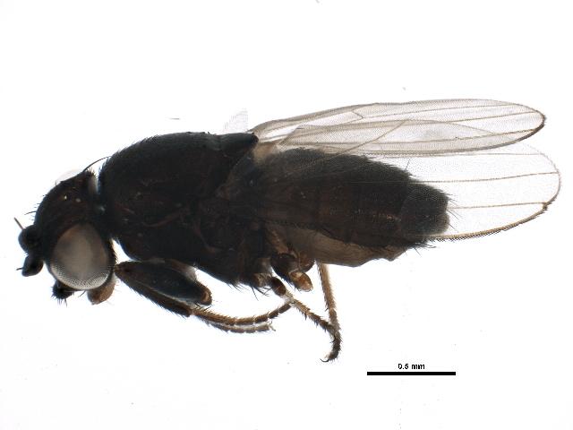 Image of Desmometopa