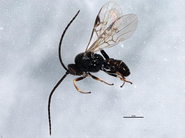 Image of <i>Microplitis lugubris</i> (Ruthe 1860)