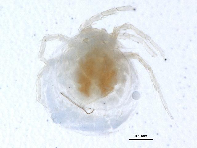 Image of Lebertiidae