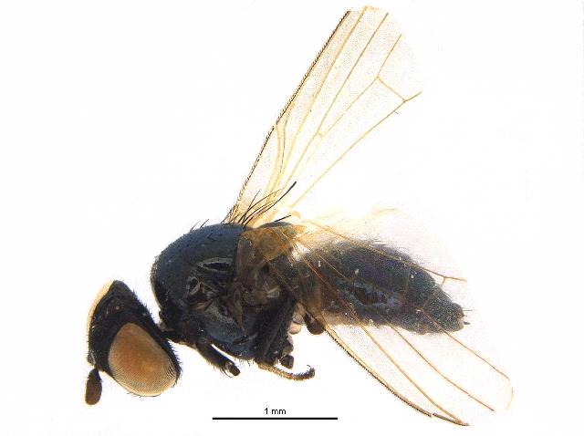Image of <i>Earomyia viridana</i> (Meigen 1826)