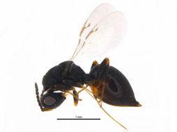 Image of <i>Eurytoma morio</i> Boheman 1836