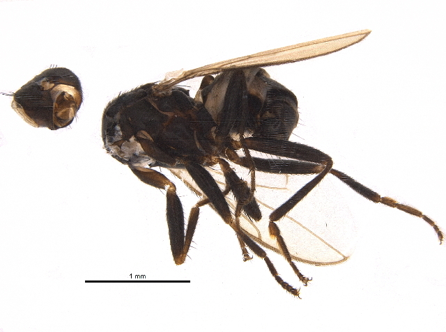 Image of <i>Apteromyia claviventris</i> (Strobl 1909)