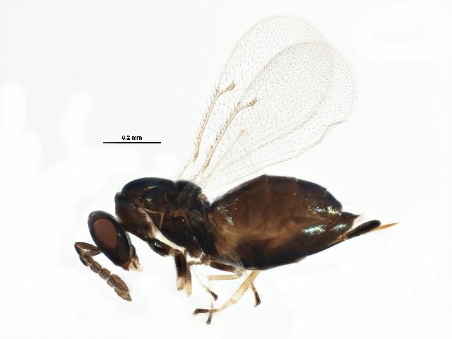 Image of <i>Aprostocetus forsteri</i> (Walker 1847)