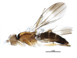Image of <i>Clusiodes verticalis</i> Collin 1912