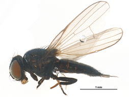 Image of <i>Dasiops calvus</i> Morge 1959