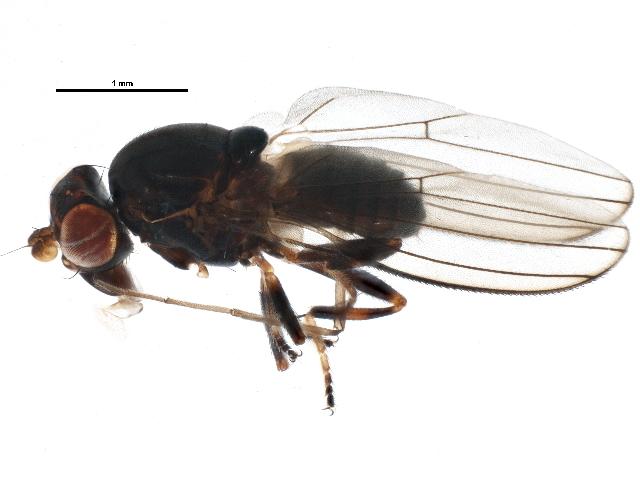 Image of <i>Aulacigaster</i>