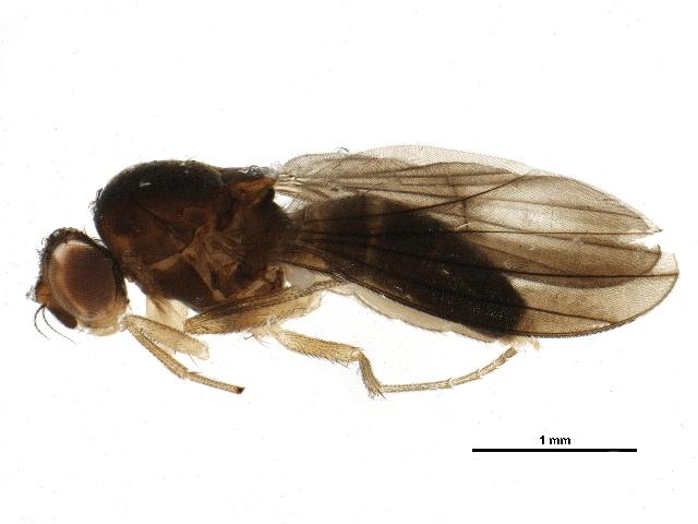 Image of <i>Campichoeta obscuripennis</i> (Meigen 1830)