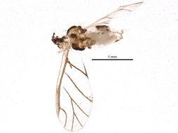 Image of <i>Capitophorus carduinus</i> (Walker & F. 1850)