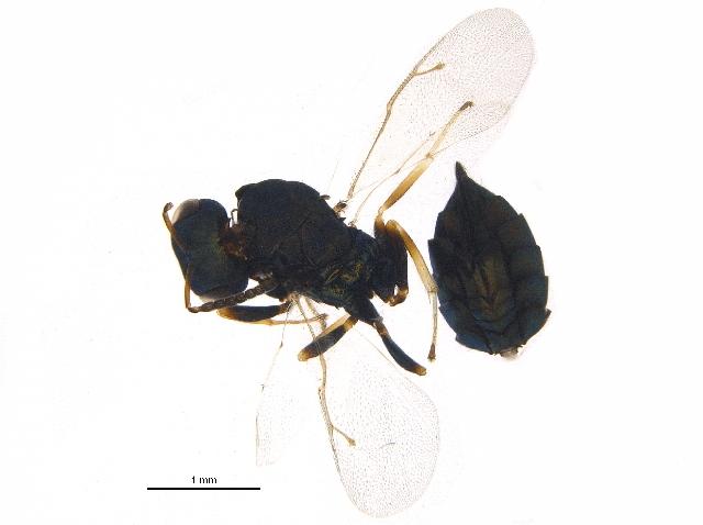 Image of <i>Pteromalus albipennis-group</i>