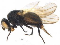 Image of <i>Protearomyia nigra</i> (Meigen 1826)